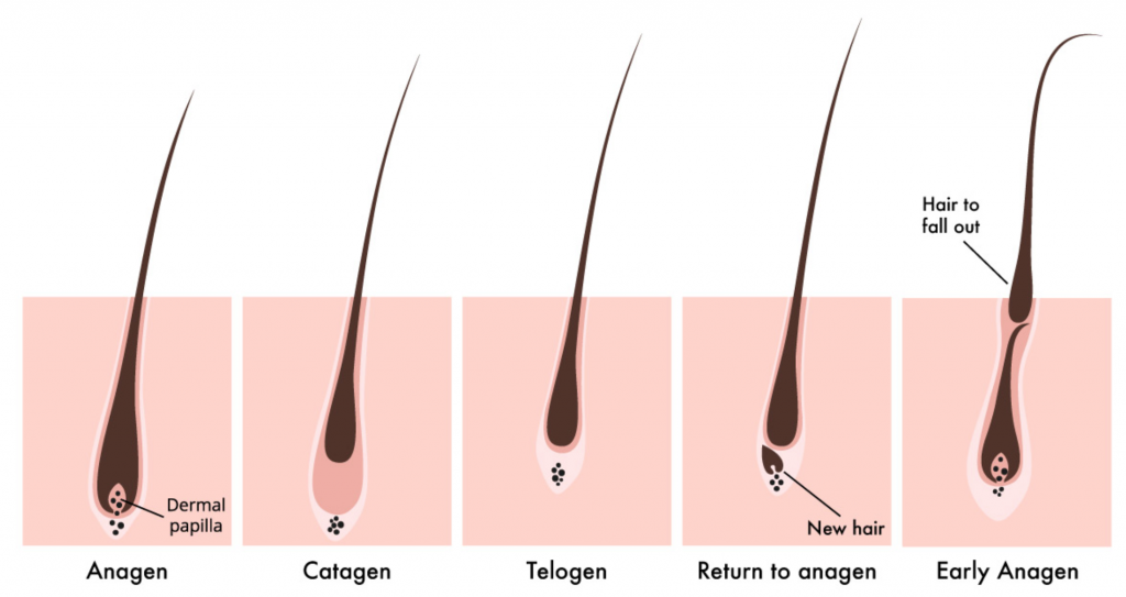 Lash Growth Cycle